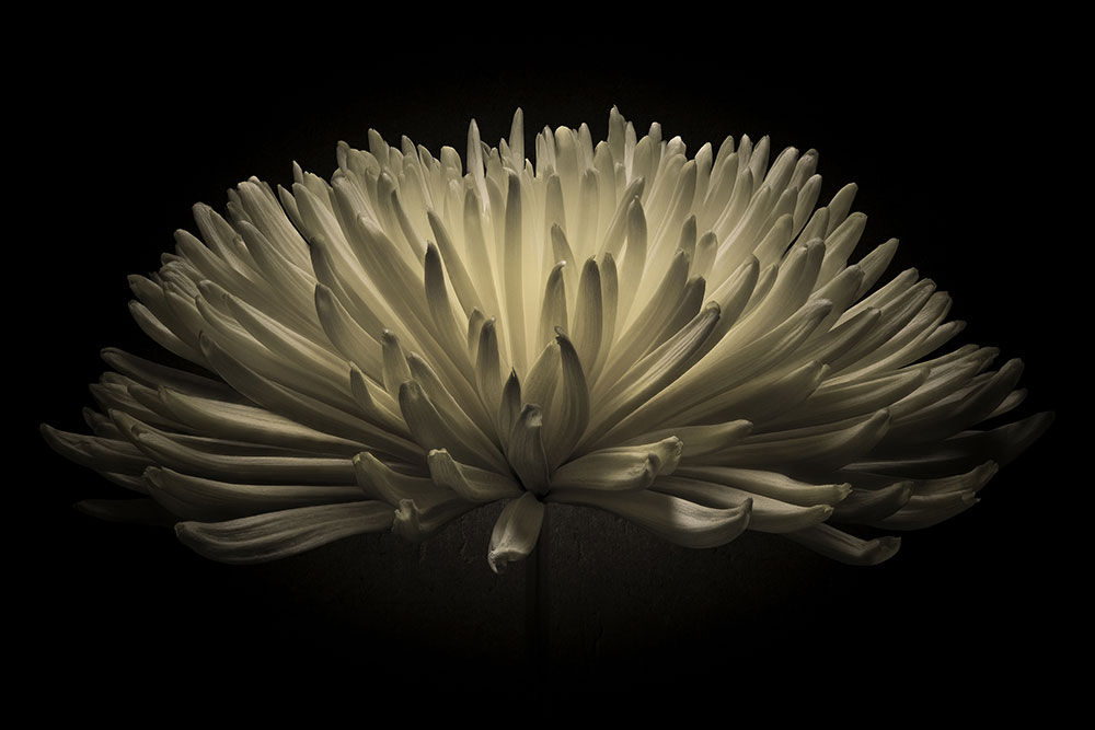 Bloom Chrysanthemum flower in Black and White.