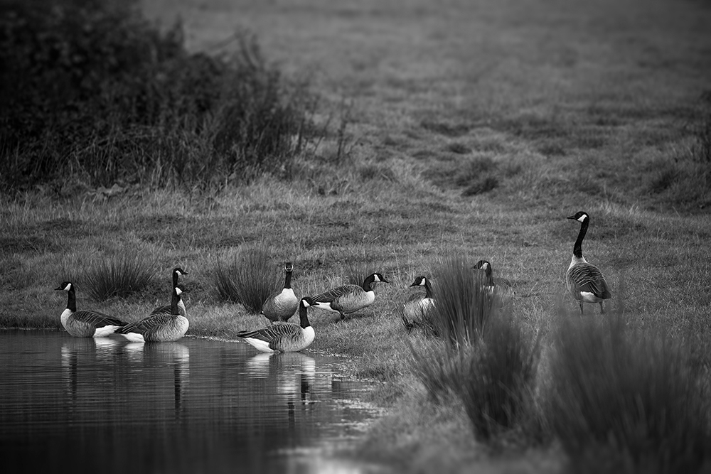 Shatterford Canada geese in Black and White.