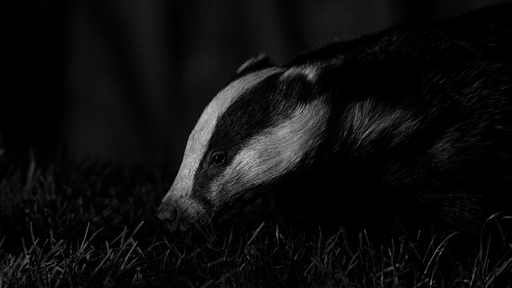 Urban wild badgers at night II.