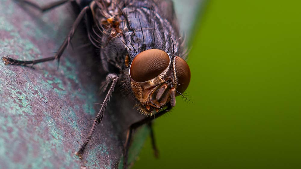 Blue bottle fly.