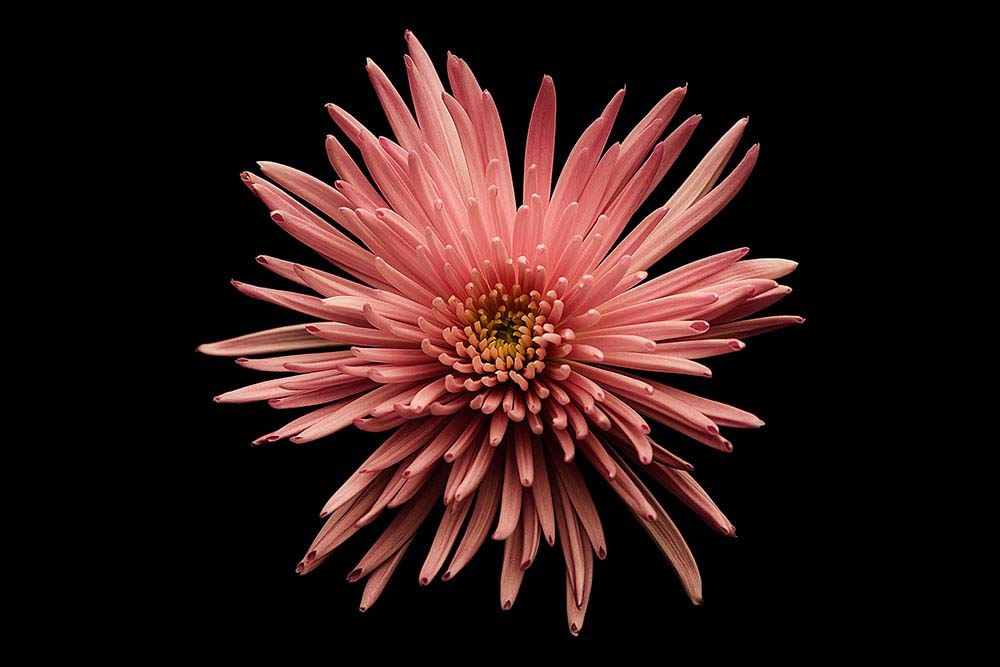 Chrysanthemum Pink.