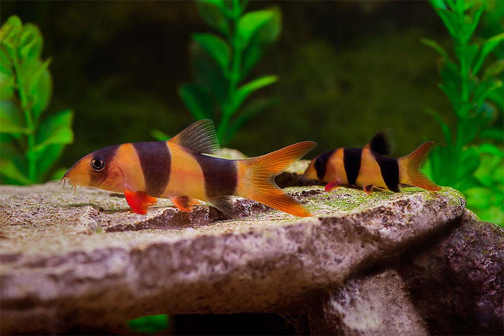 Clown Loaches.