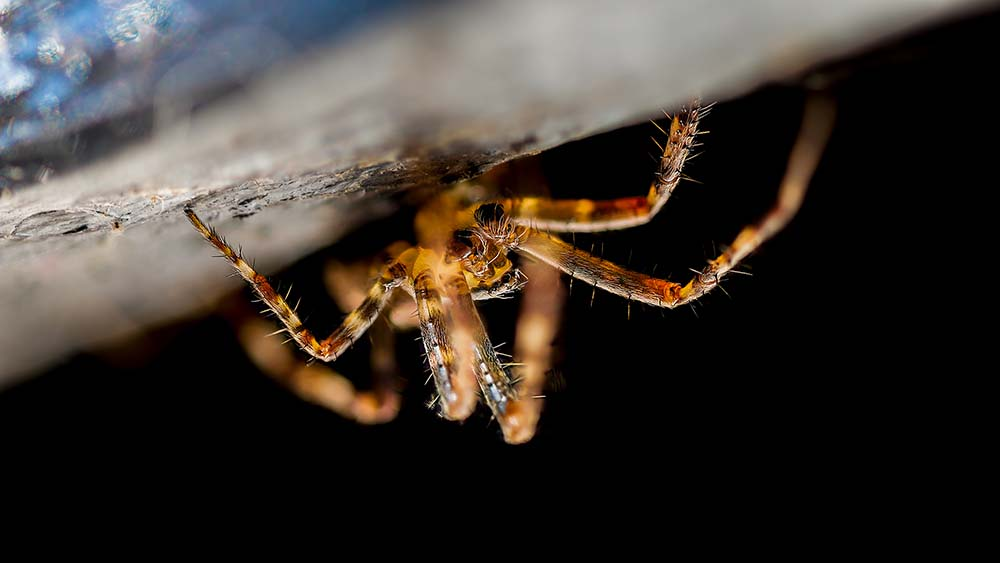 Garden Cross Spider.