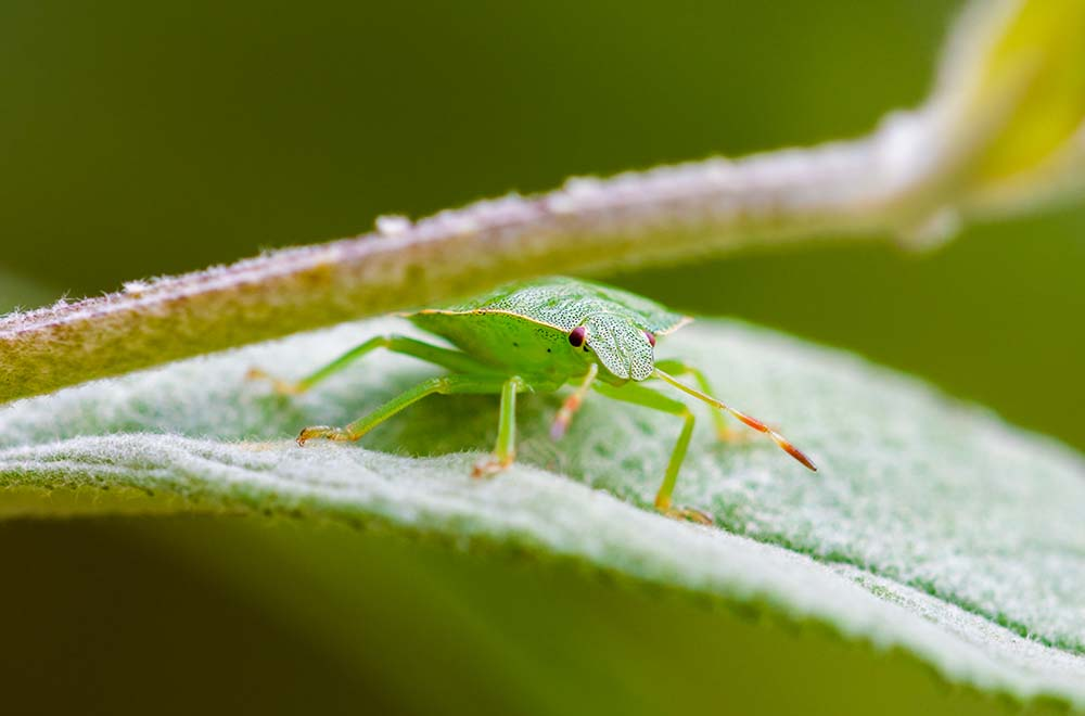 Green shield bug.