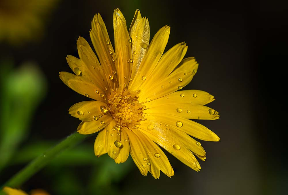 Marigold and Rain Drops.