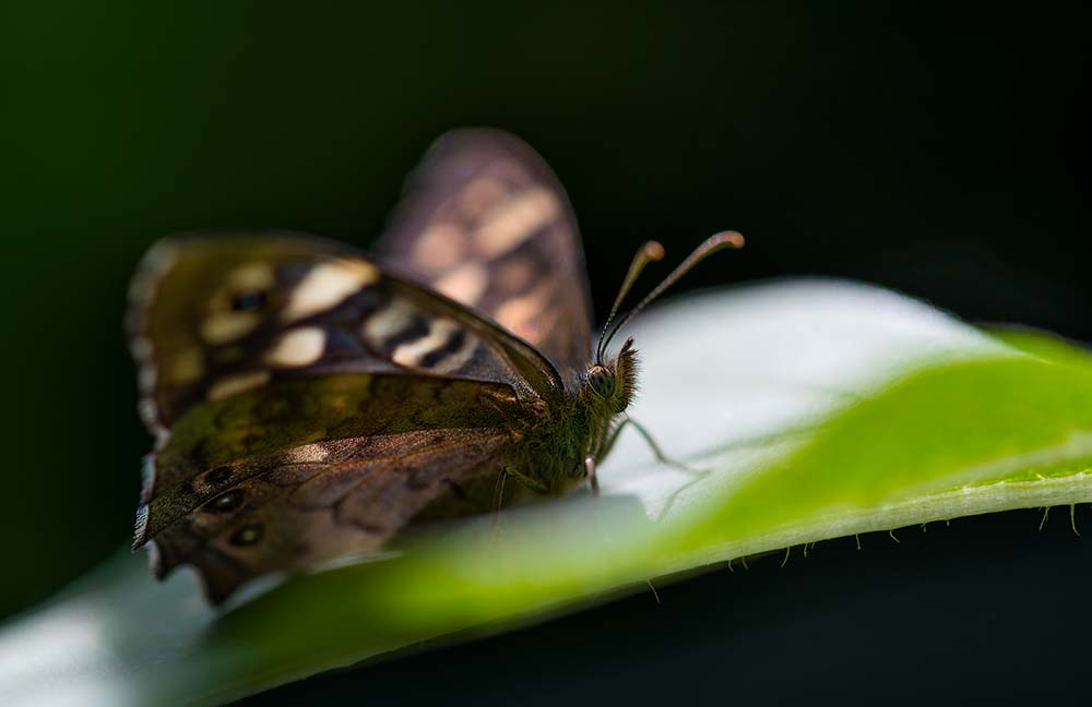 The Speckled Wood.