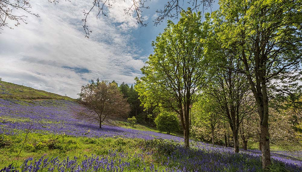 Bluebell Valley Clent Hills III.