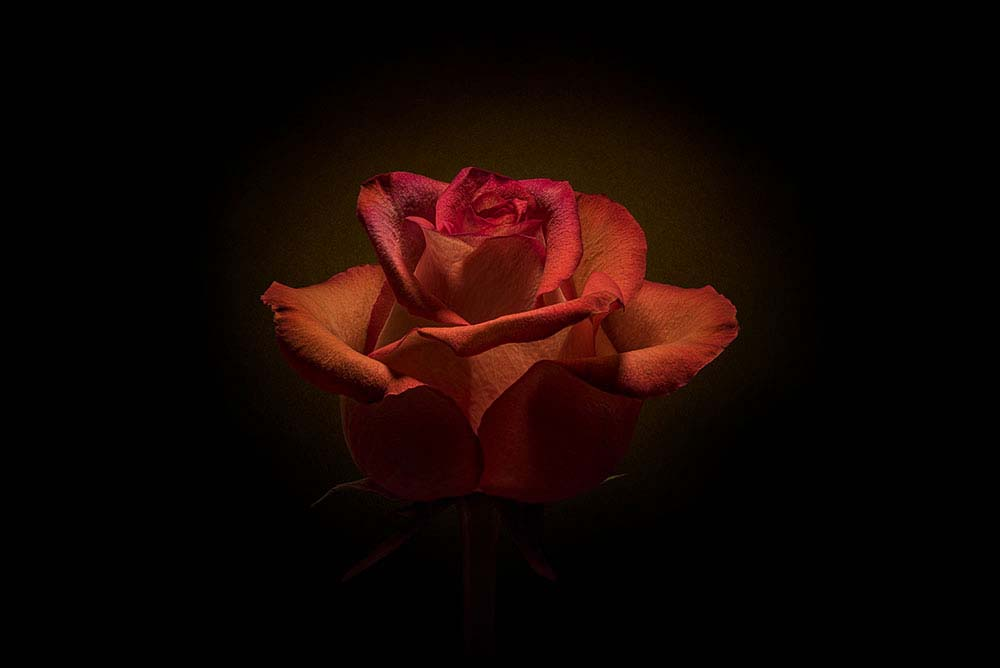Burnished Rose on Black.