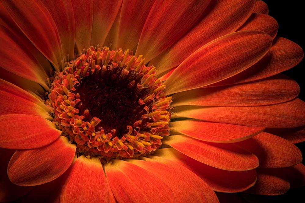 Orange Gerbera flower on Black.