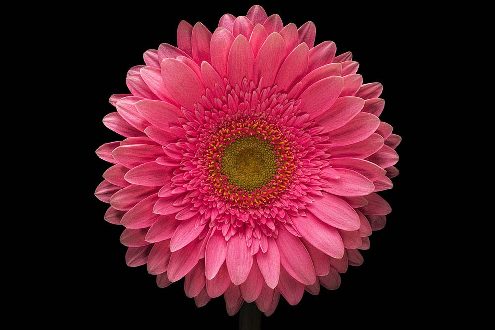Pink  Gerbera Daisy on Black.