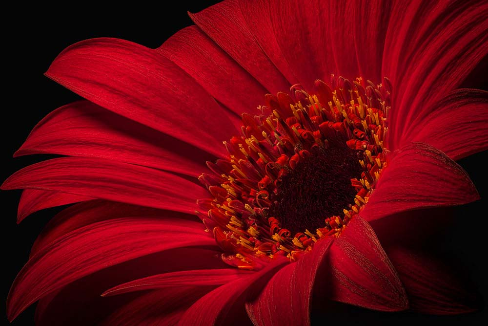 Red Gerbera flower on Black.