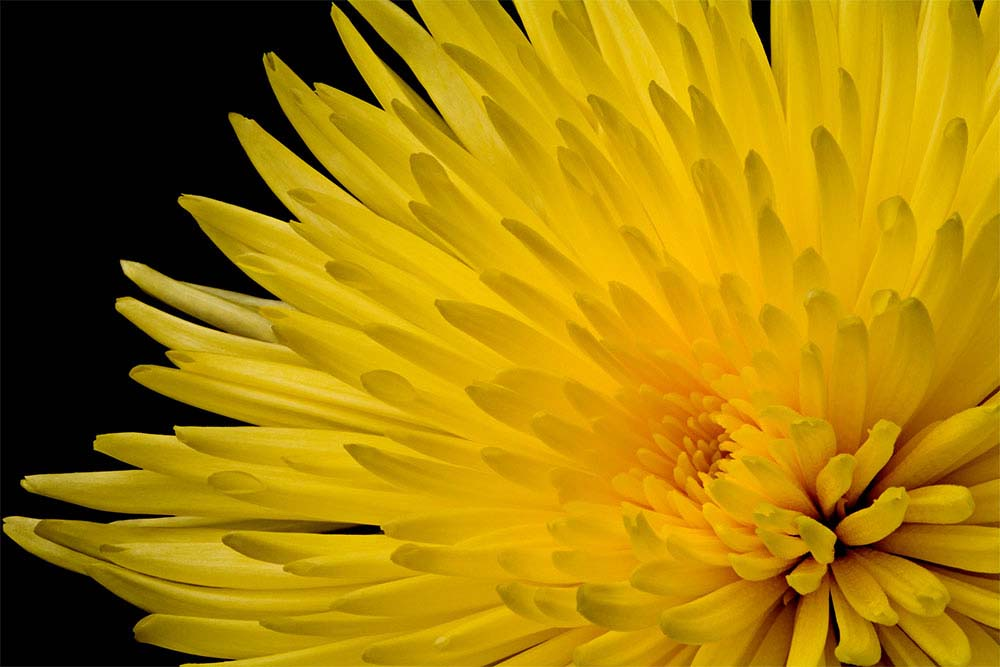 Yellow Chrysanthemum Macro
