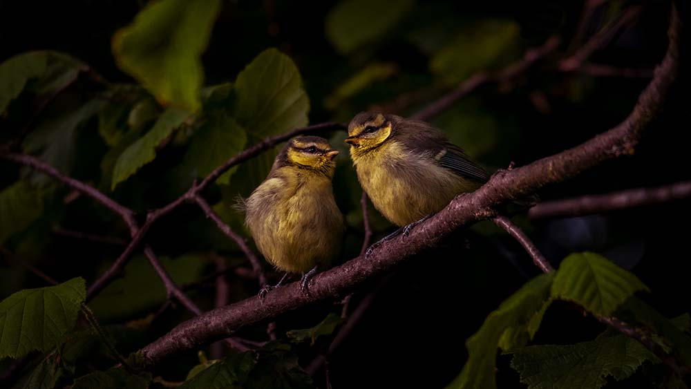 Fledglings.