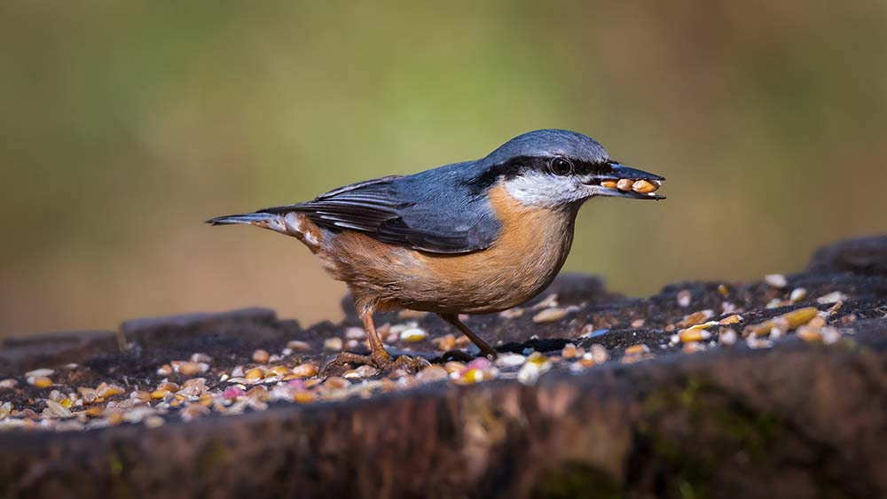 Nuthatch at the Saltwells Local Nature Reserve.