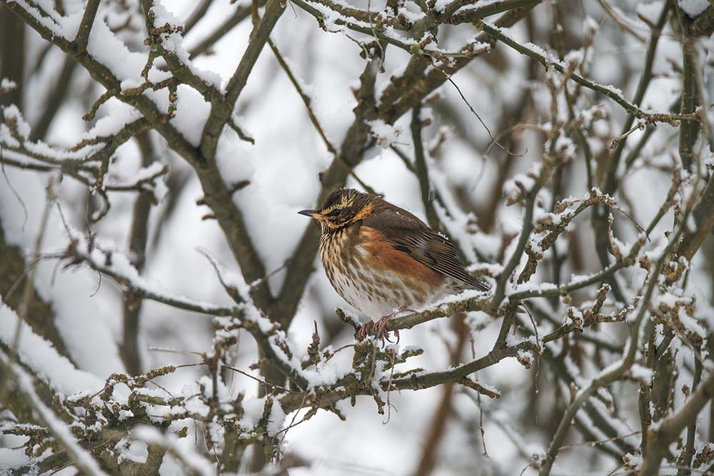 Redwing in the snow.