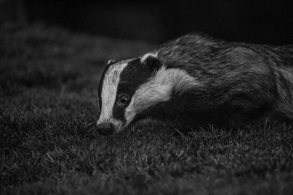 Urban wild badger in black and white.