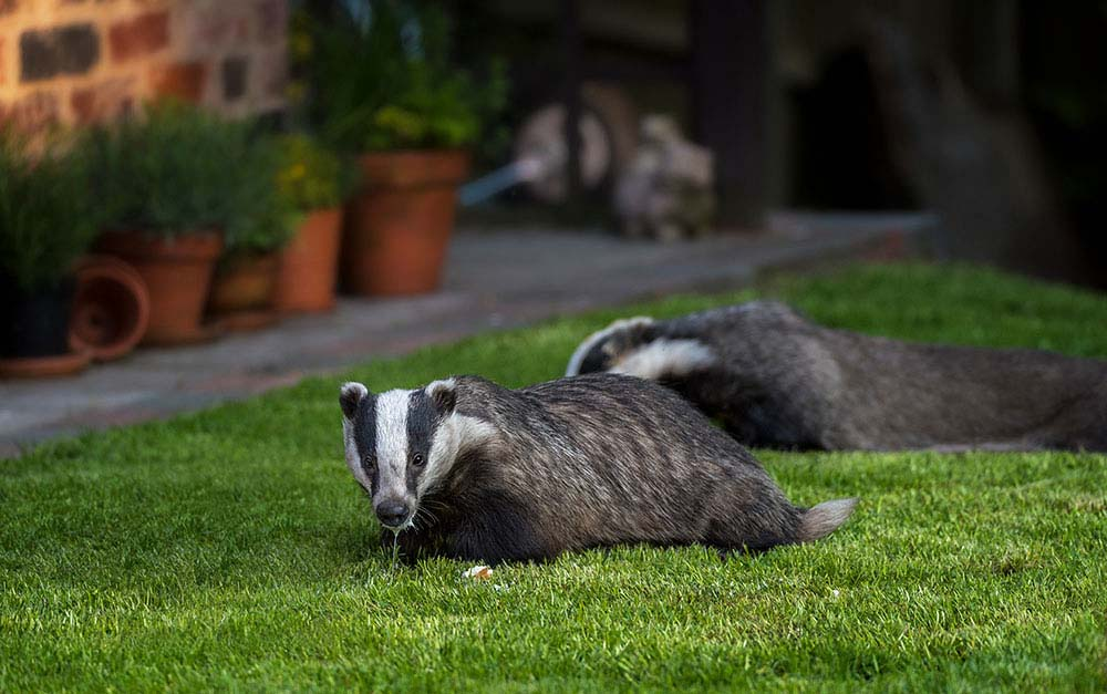 Urban wild badgers feeding in colour.