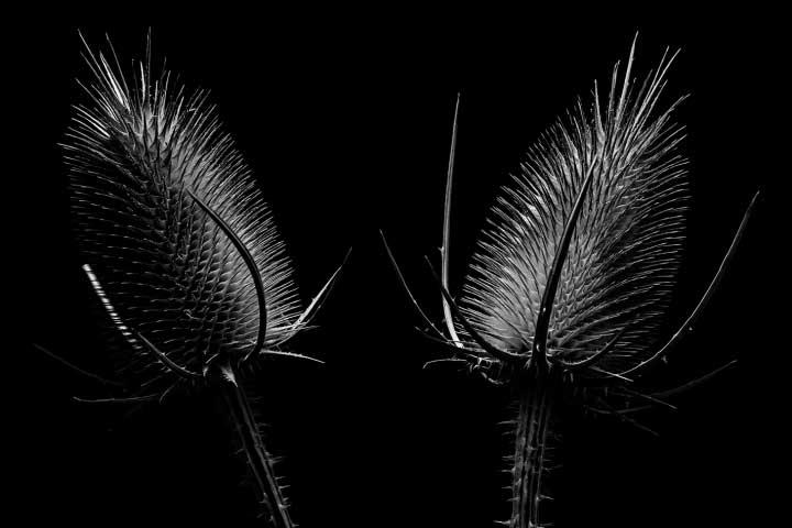 Black & White Thistles