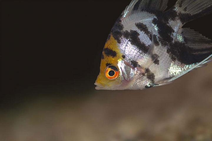 Koi Angelfish - Pterophyllum