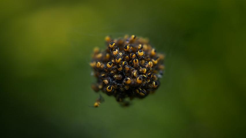 Araneus diadematus spiderling cluster.