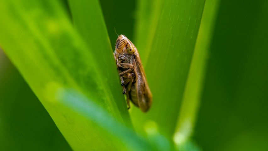 Brown Leafhopper.