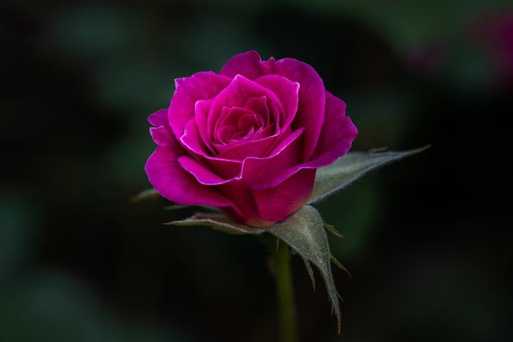 Cerise Rose.
