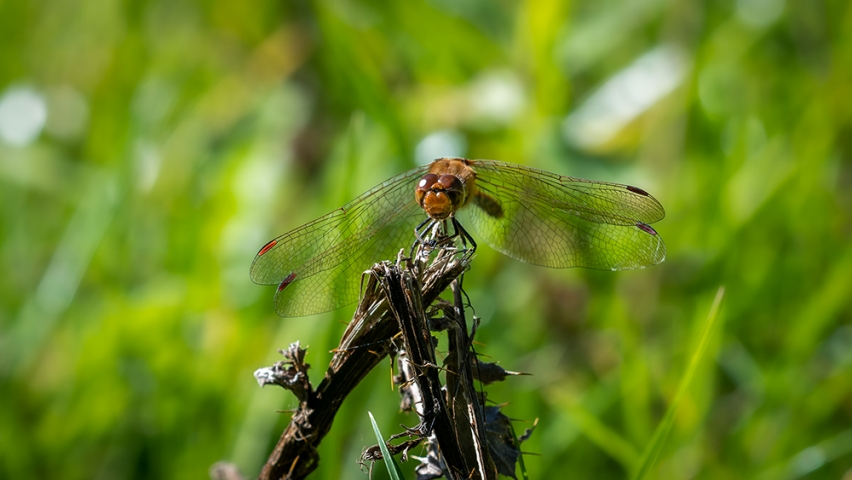 Common Darter.