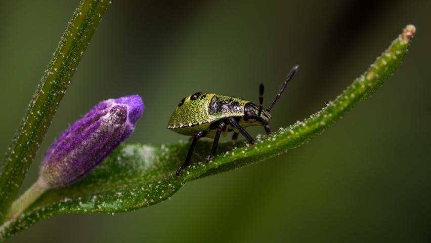 Common Green Shieldbug (palomena Prasina) 3rd Instar.