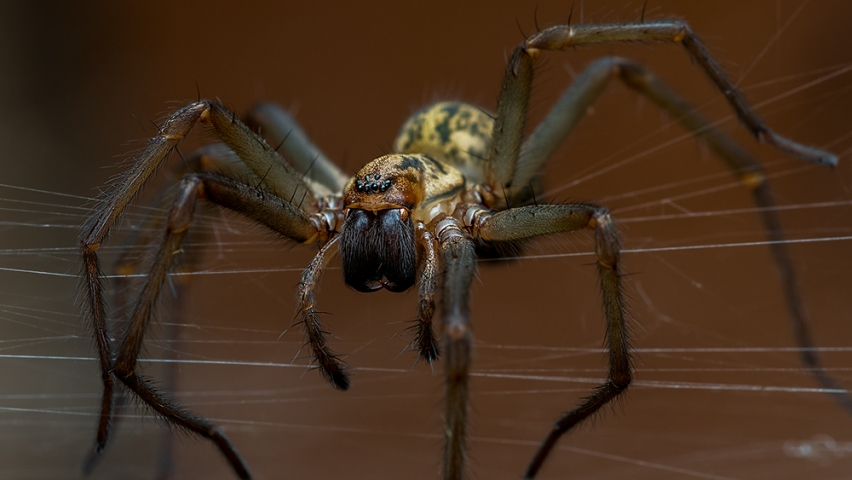 Common house spider.