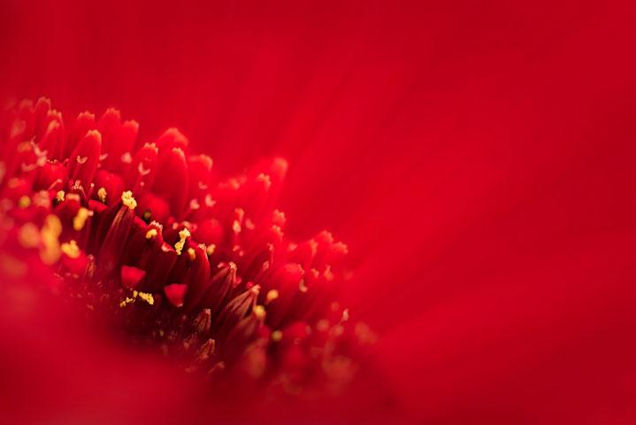 Gerbera Red.