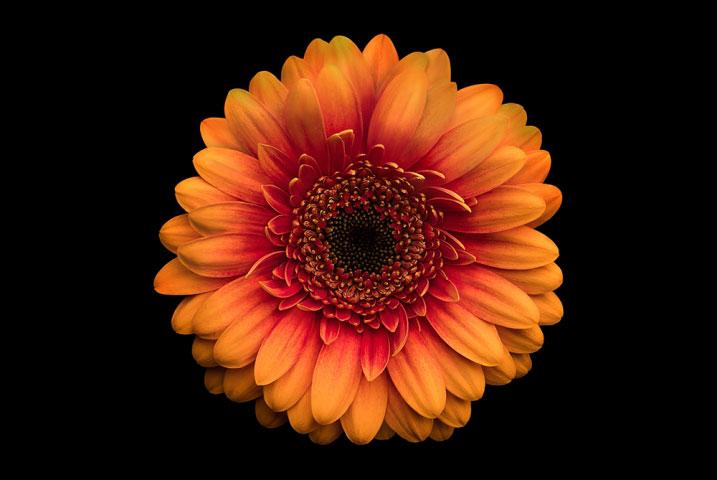 Orange Gerbera Daisy.