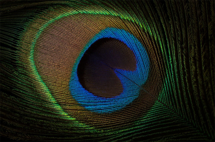 Peacock Feather Eye Macro.