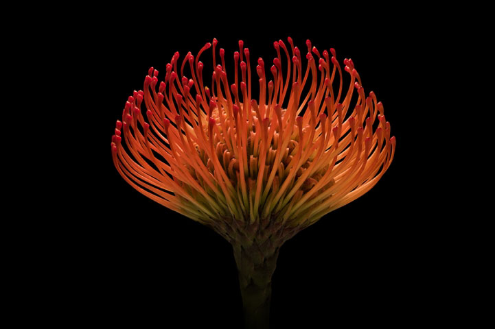 Protea Pincushion.