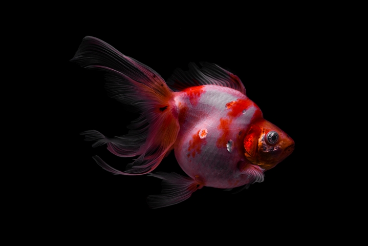 Squeek the Japanese Oranda on black II.