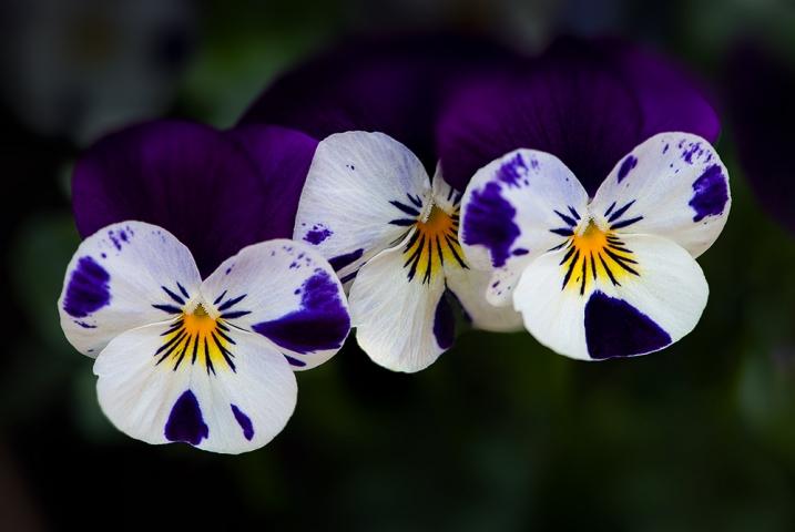 Viola Flowers.