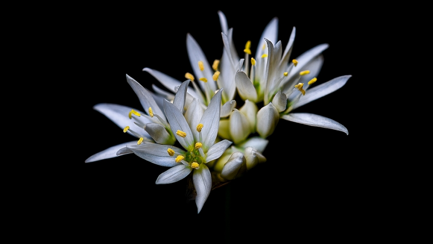 Wild Garlic Flower..
