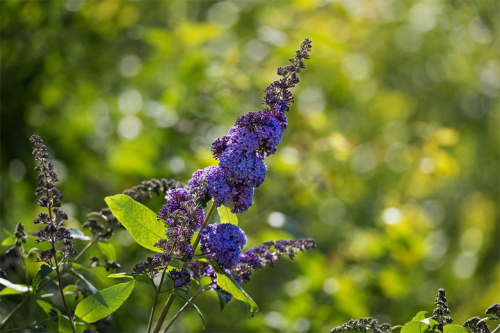 Buddleia Davidii Purple.