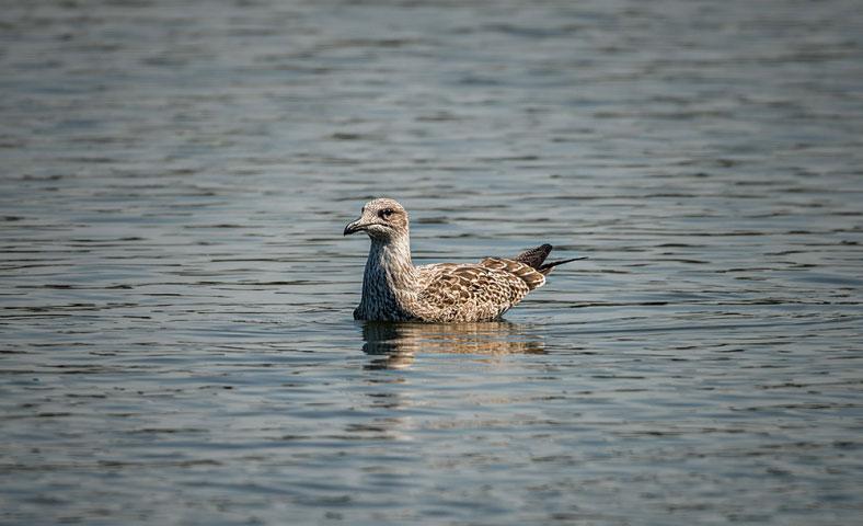 Juvenile Herring Gull.