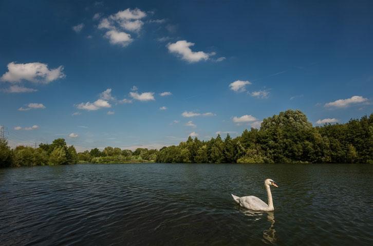 Lone Swan.