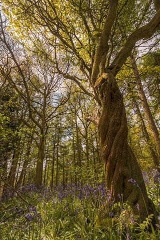 The Woods Clent Hills IIII.