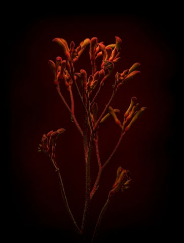 Anigozanthos 'Kangaroo Paw' on Black.