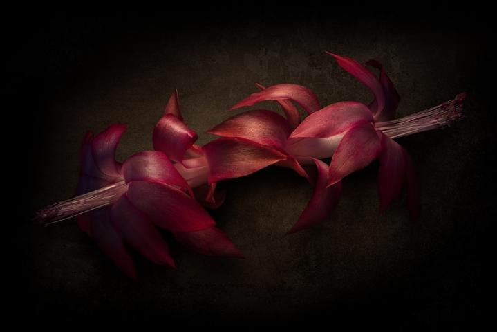 Christmas cactus ( Schlumbergera ) flower.