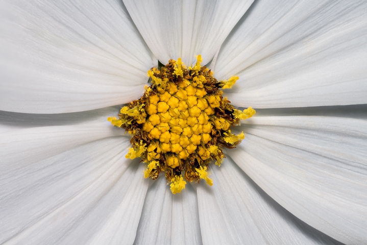 Cosmos bipinnatus 'Gazebo White'