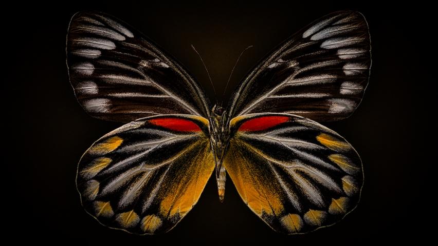 Delias Oraia Butterfly.