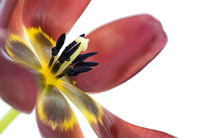 Tulip macro