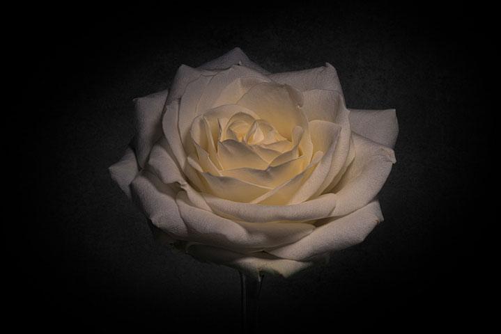 Rosa on Black..