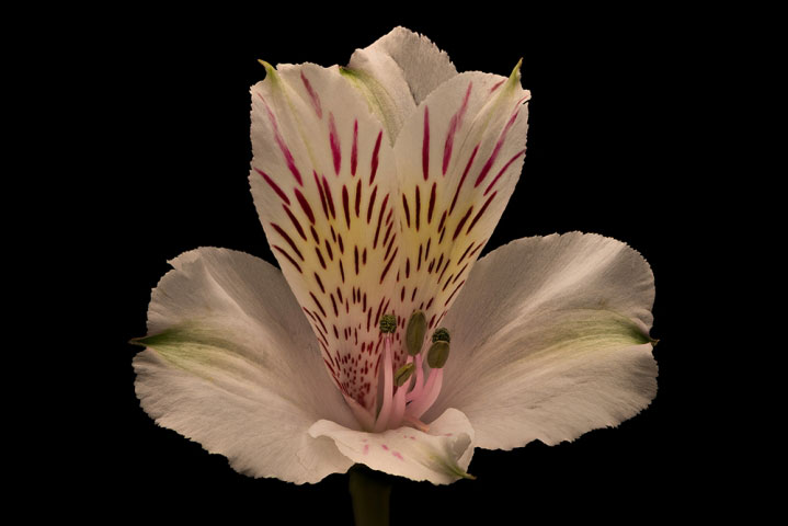 White Blush Peruvian Lily.