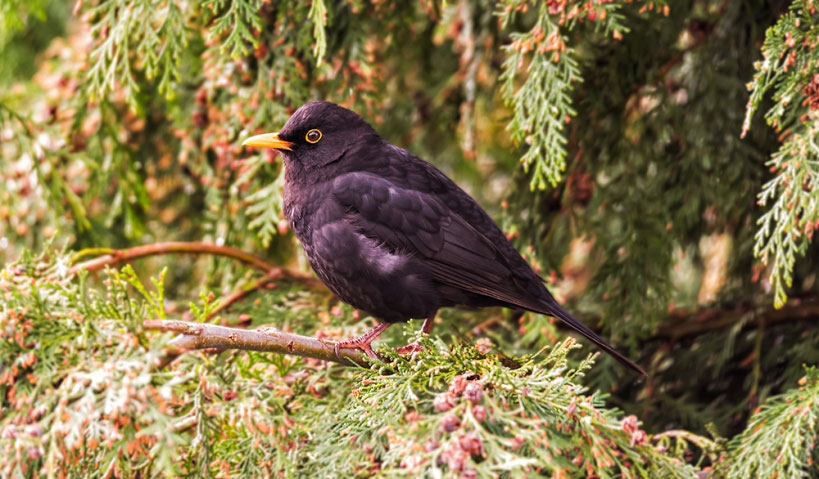A Blackbird came visiting.