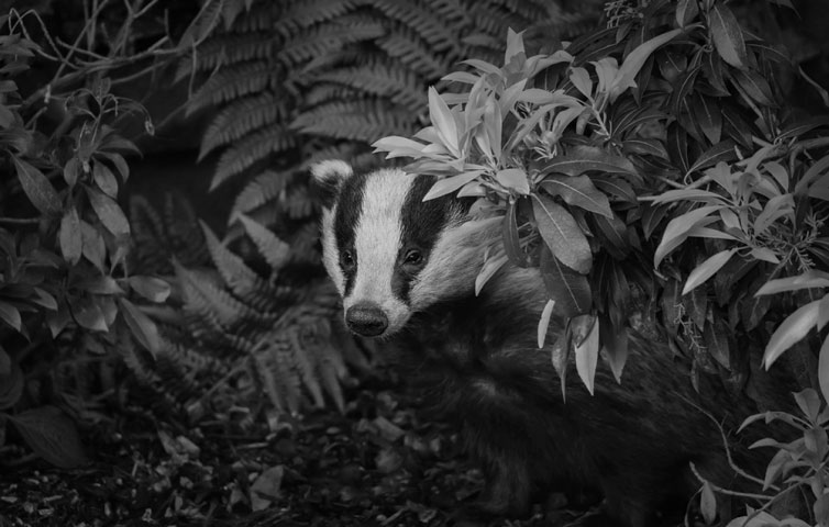 Badger at Dusk.
