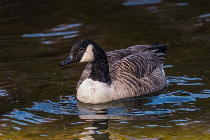 Canada Goose The Leasowes 2016.